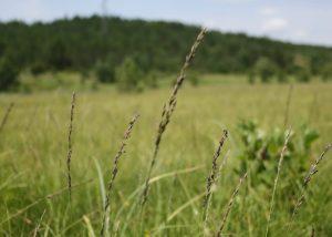 travnjaci beskoljenke, korenica, plitvička jezera